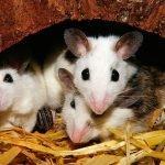 Da dove entrano i topi