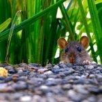 Come Eliminare i Topi Dal Giardino e Come Allontanarli