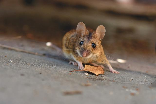Cacca di topo
