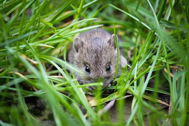 Quanto vive un topo